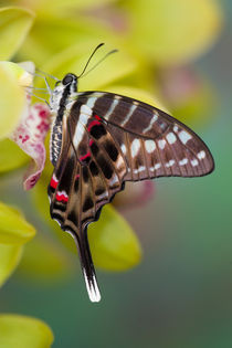 Sammamish Washington Tropical Butterflies photograph of Graphium colonna von Danita Delimont