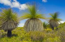 Grass trees in wind, Xanthorrhoea preissii, Lancelin Region, Western Australia von Danita Delimont