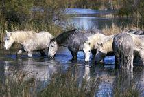 Europe, France, Ile del la Camargue. Camargue Horses (Eguus caballus) by Danita Delimont
