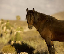 Wild Mustang stallion, Wheeler Peak herd, Cold Creek Road von Danita Delimont