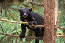 Black bear, Ursus americanus,USA by Danita Delimont