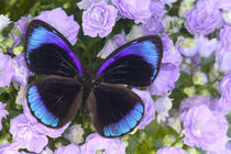 Sammamish Washington Photograph of Butterfly on Flowers, Eunica alcmena flora von Danita Delimont