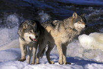 North America, USA, Minnesota. Wolves (Canis lupus) by Danita Delimont