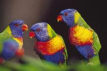 Rainbow lorikeets, Trichoglossus haematodus, Southeast Australia by Danita Delimont