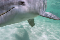 Bottlenose Dolphins  Carribean Sea near Roatan, Honduras von Danita Delimont