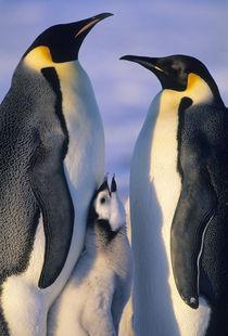 Emperor Penguins (Aptenodytes forsteri), Weddell Sea, Antarctica by Danita Delimont