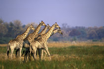 Africa, Botswana, Moremi Game Reserve by Danita Delimont