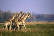 Africa, Botswana, Moremi Game Reserve von Danita Delimont