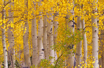 Autumn aspens in Kebler Pass in Colorado. by Danita Delimont