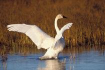 Whistling swan, Cygnus columbianus by Danita Delimont
