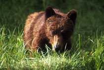 Canada, British Columbia, Khutzeymateen Grizzly Bear Sanctuary by Danita Delimont