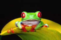 Red Eye Treefrog, Agalychinis callidryas, Native to Central America von Danita Delimont