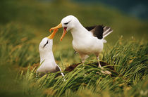 Black-browed albatrosses courting, South Georgia Island by Danita Delimont