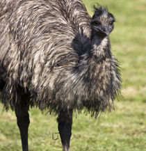 Emu by Tracy Arnold