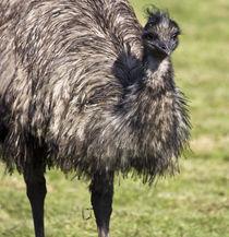 Emu-bird