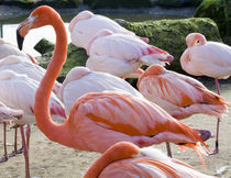 Flamingo Standing Out in the Crowd von Tracy Arnold