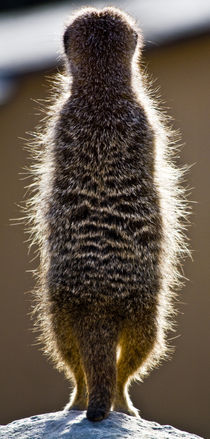 Meerkat-lookout-taken-from-behind