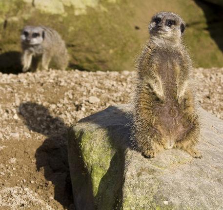 Meerkats-one-on-lookout