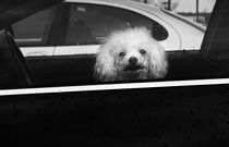 Poodle in a car by Susan Isakson