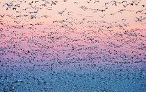Snow geese lift-off von Susan Isakson