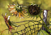 Sunflowersonafence