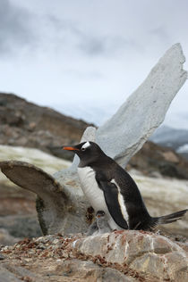 Gentoo Penguins on Nests by Wolfgang Kaehler