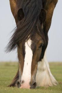 Shire Horse - Christiane Slawik von Christiane Slawik