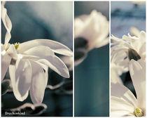 magnolia grandiflora von drachenkind