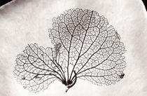 Hydrangea Petal by Geoff du Feu