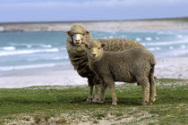 Sheep by Wolfgang Kaehler