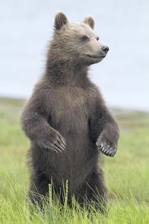 Standing Grizzly Bear Cub by Richard Wong