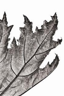 Rheum Leaf von Geoff du Feu