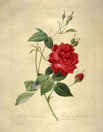 Rosa indica cruenta/Stich nach Redoute von AKG  Images