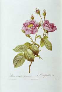 Rosa centifolia Anemonoides /  Redoute von AKG  Images