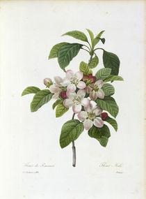 Apfelblueten / Redoute