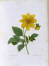 Dahlia simplex / Redoute by AKG  Images