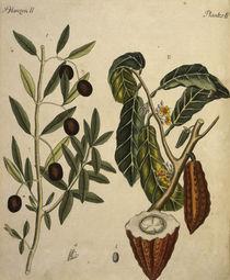 Kakaobaum und Oelbaum / Bertuch 1792 by AKG  Images