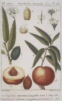Botanik, Mandel u. Mandelpfirsich/Kupfst von AKG  Images
