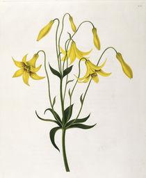 Lilie / Farblitho nach E.Bury / 1831-34 von AKG  Images
