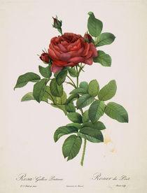 Rose / Punktierstich nach Redoute von AKG  Images