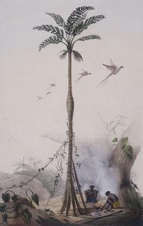 Kokospalme / nach J.B.Debret von AKG  Images