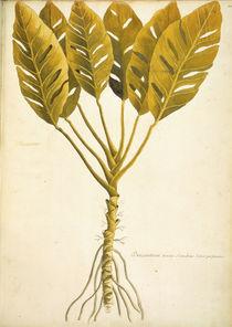 Dracontium / Ch.Plumier by AKG  Images