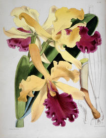 Orchidee / W.H.Fitch, 1876 von AKG  Images