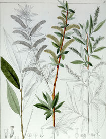 Weide / Salix alba / F. Guimpel by AKG  Images
