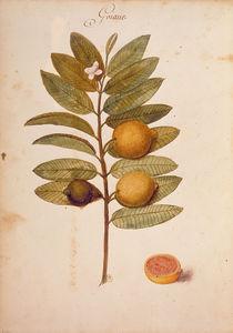 Guave / Ch.Plumier von AKG  Images