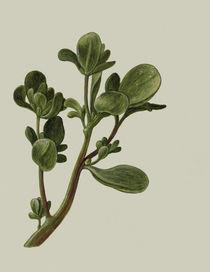 Portulak / Gouache um 1790/1820 by AKG  Images