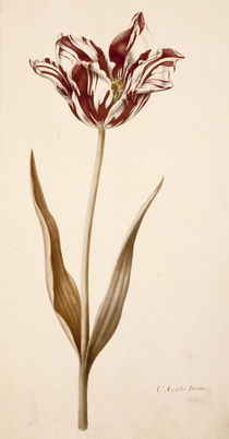 Tulpe / Miniatur von Nicolas Robert