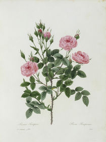 Rosa Pomponia / Redoute 1835 Nr.133 by AKG  Images