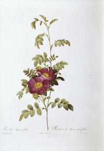 Rosa alpina debilis / Redoute von AKG  Images