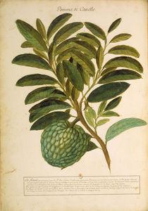 Anacardium pineum / Ch.Plumier von AKG  Images